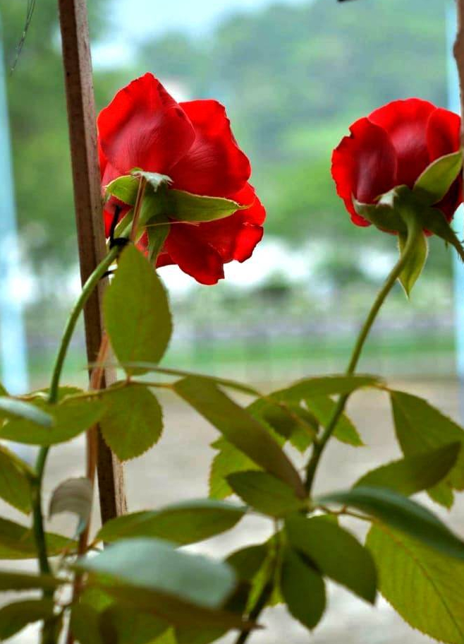 red-roses-on-balcony