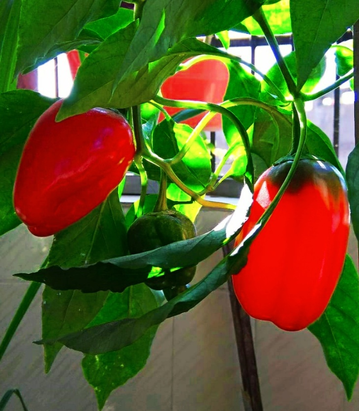 capsicum-from-our-balcony-garden